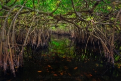 Mangrove Magic
